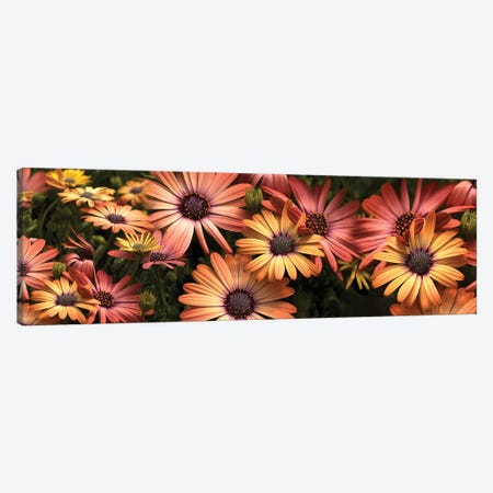 Close-Up Of Daisy Flowers In Bloom I Canvas Print #PIM14419} by Panoramic Images Canvas Art