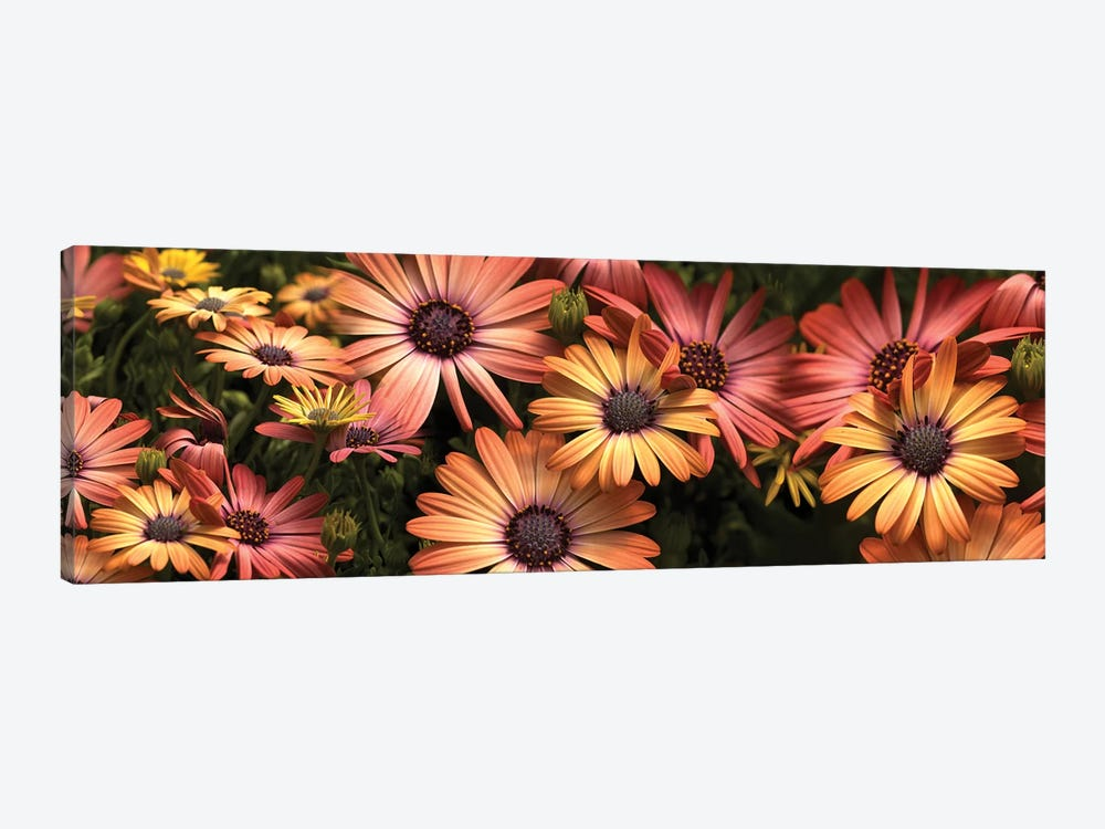 Close-Up Of Daisy Flowers In Bloom I by Panoramic Images 1-piece Canvas Art Print
