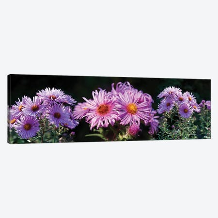 Close-Up Of Daisy Flowers In Bloom II Canvas Print #PIM14420} by Panoramic Images Canvas Print