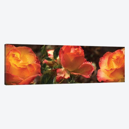 Close-Up Of Dew Drops On Orange Rose Flower Canvas Print #PIM14422} by Panoramic Images Canvas Print