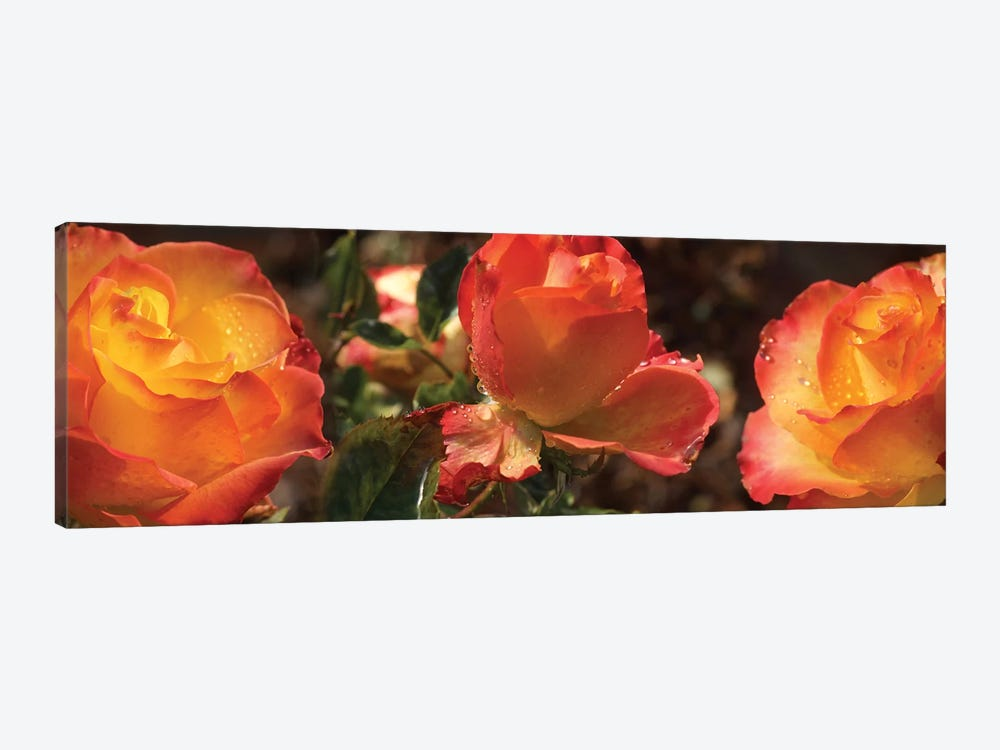 Close-Up Of Dew Drops On Orange Rose Flower by Panoramic Images 1-piece Art Print