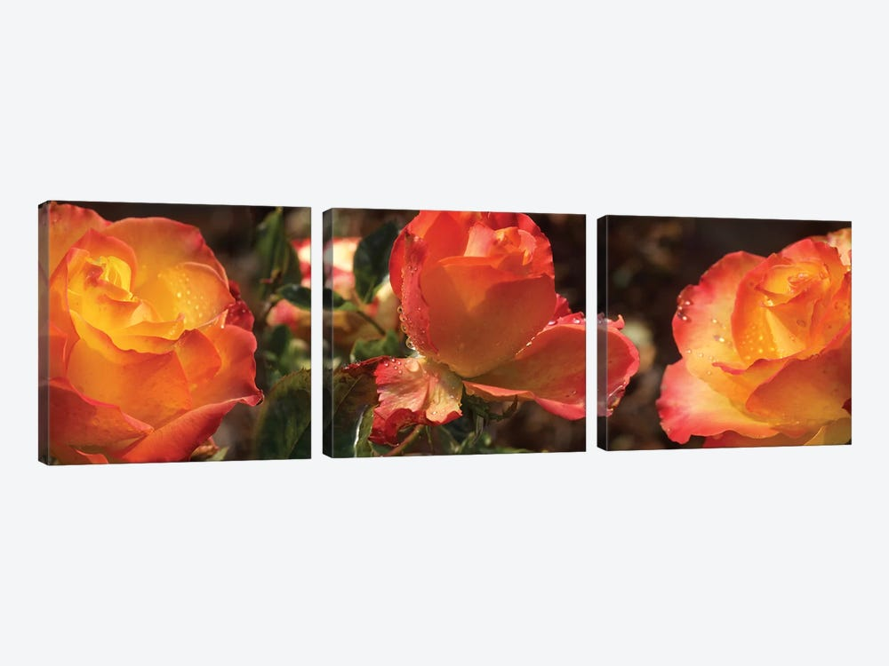 Close-Up Of Dew Drops On Orange Rose Flower by Panoramic Images 3-piece Canvas Art Print