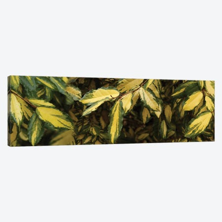 Close-Up Of Euonymus Leaves Canvas Print #PIM14423} by Panoramic Images Canvas Print