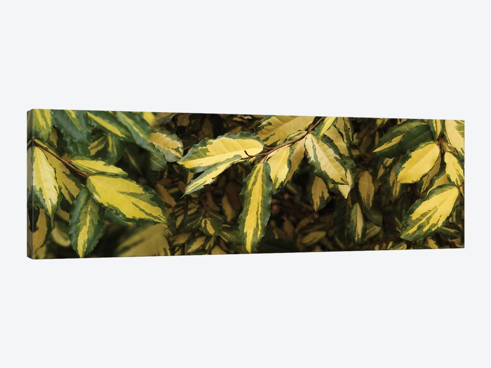 Close-Up Of Euonymus Leaves by Panoramic Images 1-piece Canvas Art
