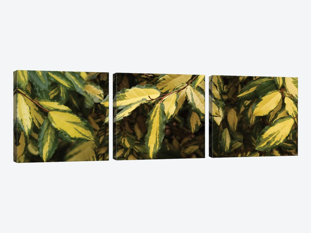 Close-Up Of Euonymus Leaves by Panoramic Images 3-piece Canvas Wall Art