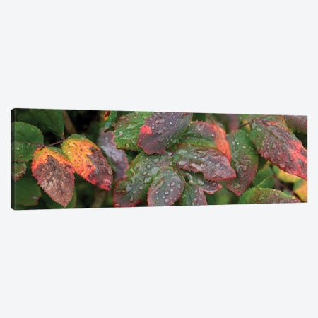 Close-Up Of Fall Colored Leaves Canvas Print #PIM14424} by Panoramic Images Canvas Art