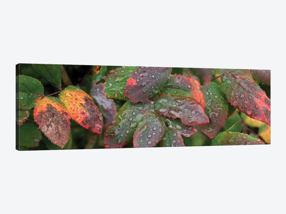 Close-Up Of Fall Colored Leaves by Panoramic Images 1-piece Art Print