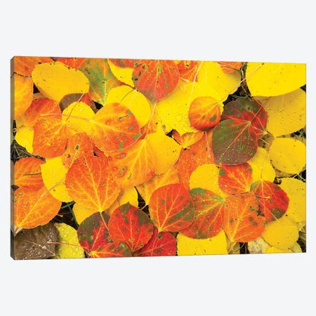 Close-Up Of Fallen Leaves, Maroon Bells, Maroon Creek Valley, Aspen, Pitkin County, Colorado, USA Canvas Print #PIM14427} by Panoramic Images Canvas Wall Art