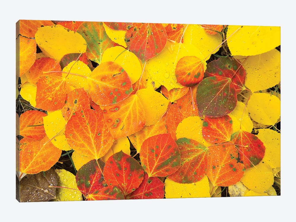 Close-Up Of Fallen Leaves, Maroon Bells, Maroon Creek Valley, Aspen, Pitkin County, Colorado, USA by Panoramic Images 1-piece Canvas Wall Art