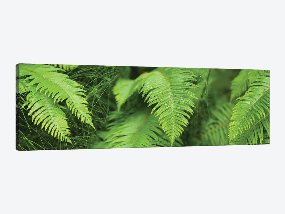 Close-Up Of Ferns by Panoramic Images 1-piece Canvas Art Print