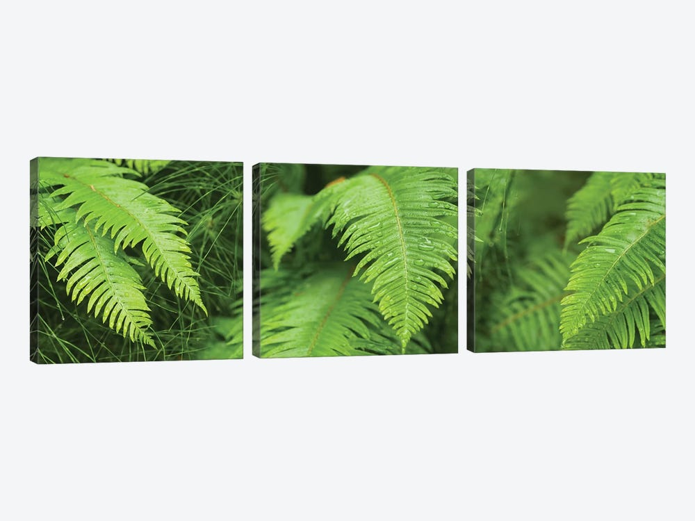 Close-Up Of Ferns by Panoramic Images 3-piece Canvas Print