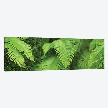 Close-Up Of Ferns Canvas Print #PIM14428} by Panoramic Images Canvas Print