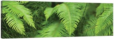 Close-Up Of Ferns Canvas Art Print