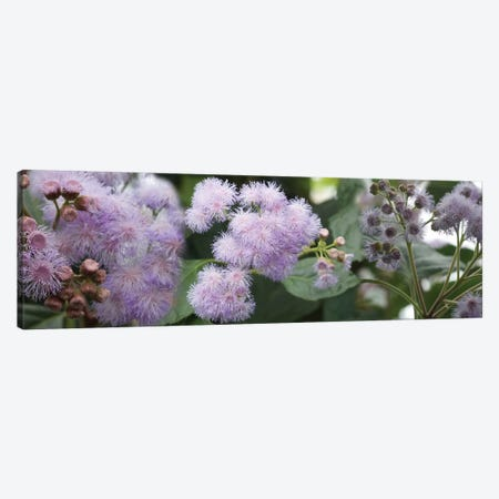Close-Up Of Fuzzy Purple Flowers Canvas Print #PIM14433} by Panoramic Images Canvas Wall Art
