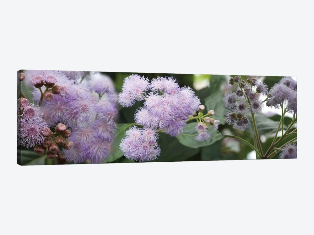 Close-Up Of Fuzzy Purple Flowers by Panoramic Images 1-piece Canvas Print