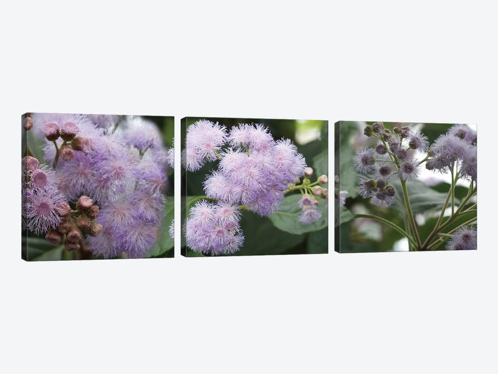 Close-Up Of Fuzzy Purple Flowers by Panoramic Images 3-piece Canvas Art Print