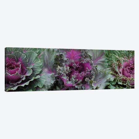 Close-Up Of Green And Purple Kale Flowers Canvas Print #PIM14434} by Panoramic Images Canvas Print
