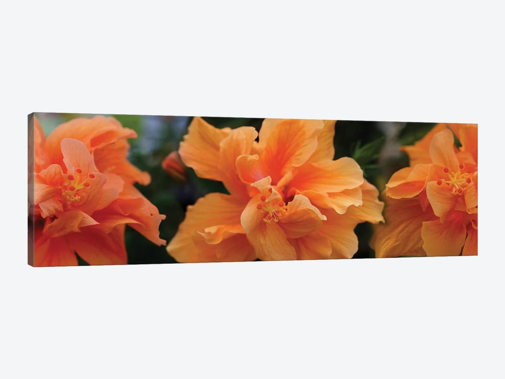 Close-Up Of Hibiscus Flowers by Panoramic Images 1-piece Canvas Print