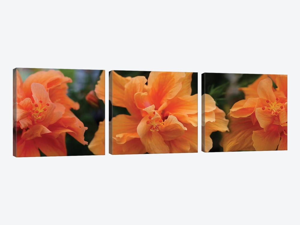 Close-Up Of Hibiscus Flowers by Panoramic Images 3-piece Canvas Art Print