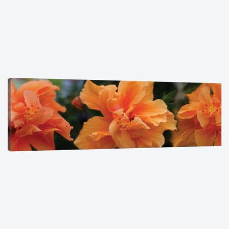 Close-Up Of Hibiscus Flowers Canvas Print #PIM14437} by Panoramic Images Canvas Art Print