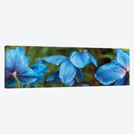 Close-Up Of Himalayan Poppy Flowers Canvas Print #PIM14439} by Panoramic Images Canvas Art
