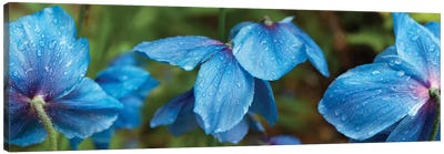 Close-Up Of Himalayan Poppy Flowers Canvas Art Print