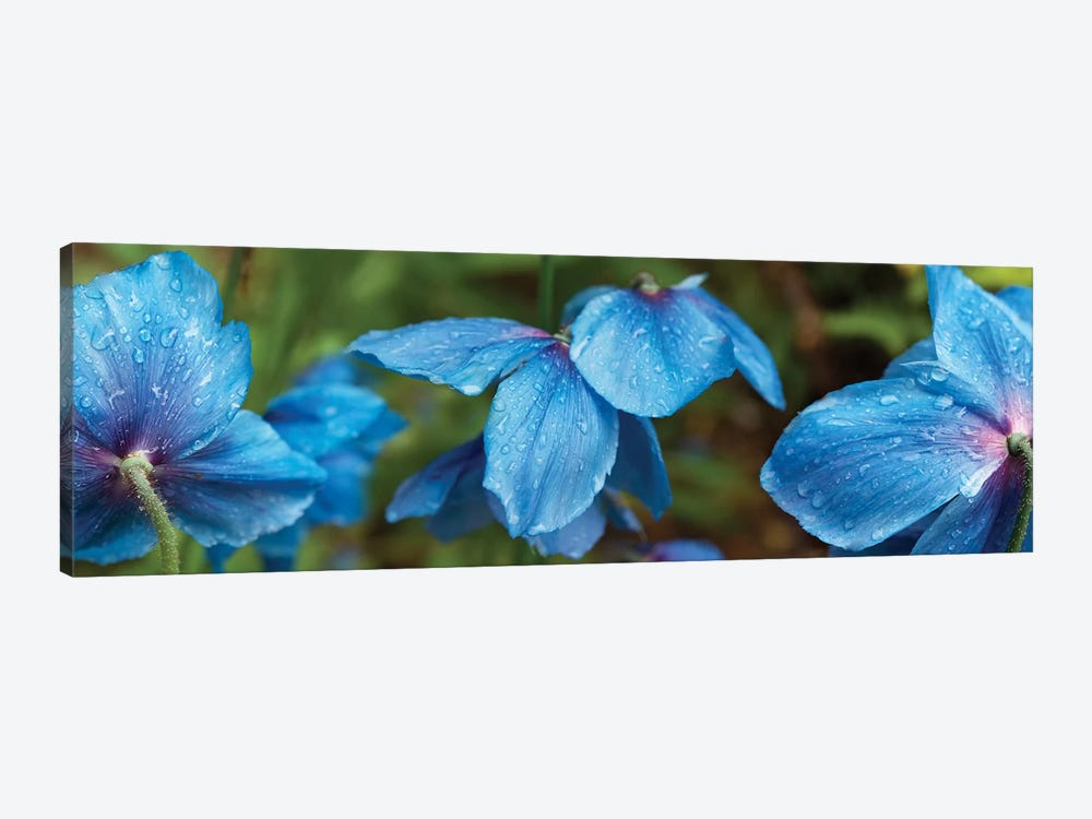 Close-Up Of Himalayan Poppy Flowers by Panoramic Images 1-piece Art Print