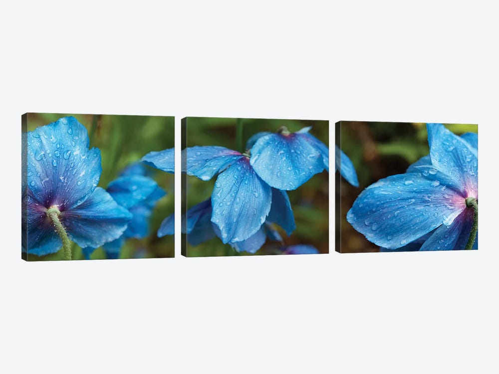Close-Up Of Himalayan Poppy Flowers by Panoramic Images 3-piece Art Print