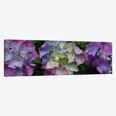 Close-Up Of Hydrangea Flowers II Canvas Print #PIM14441} by Panoramic Images Canvas Print