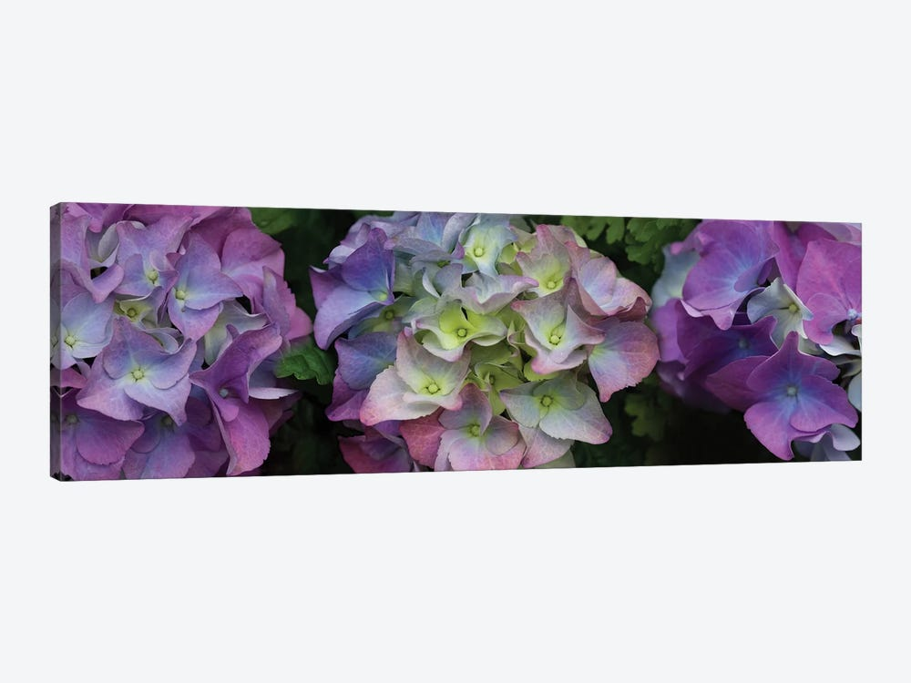 Close-Up Of Hydrangea Flowers II by Panoramic Images 1-piece Canvas Wall Art