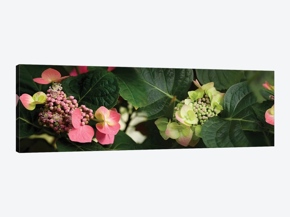 Close-Up Of Hydrangeas Flowers by Panoramic Images 1-piece Canvas Print