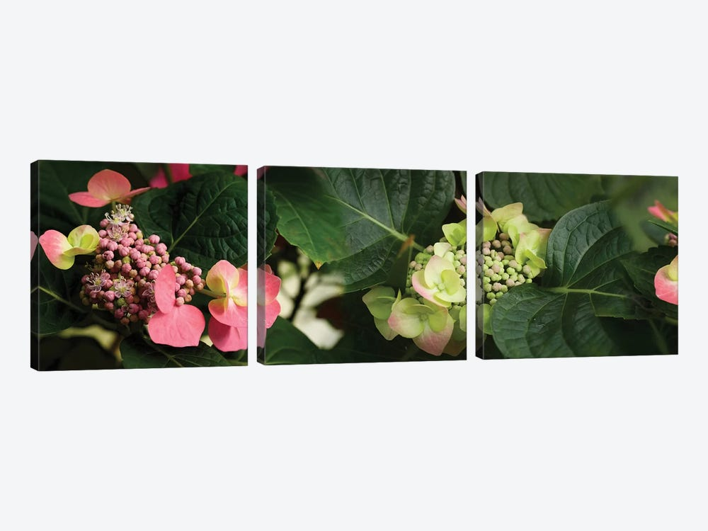 Close-Up Of Hydrangeas Flowers by Panoramic Images 3-piece Canvas Print