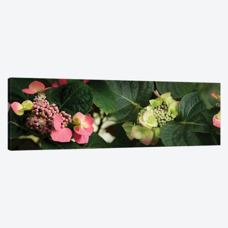 Close-Up Of Hydrangeas Flowers Canvas Print #PIM14442} by Panoramic Images Canvas Print