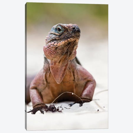 Close-Up Of Iguana On Beach, Great Exuma Island, Bahamas Canvas Print #PIM14443} by Panoramic Images Canvas Print