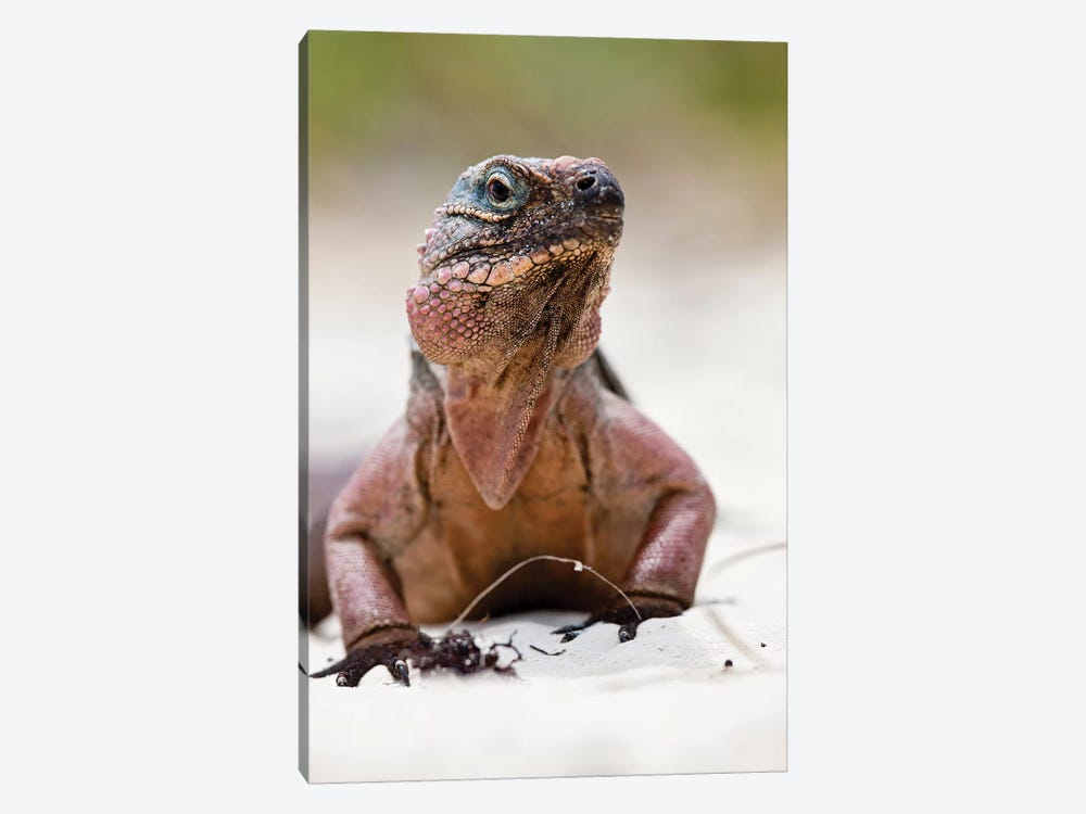 Close-Up Of Iguana On Beach, Great Exuma Island, Bahamas by Panoramic Images 1-piece Canvas Artwork