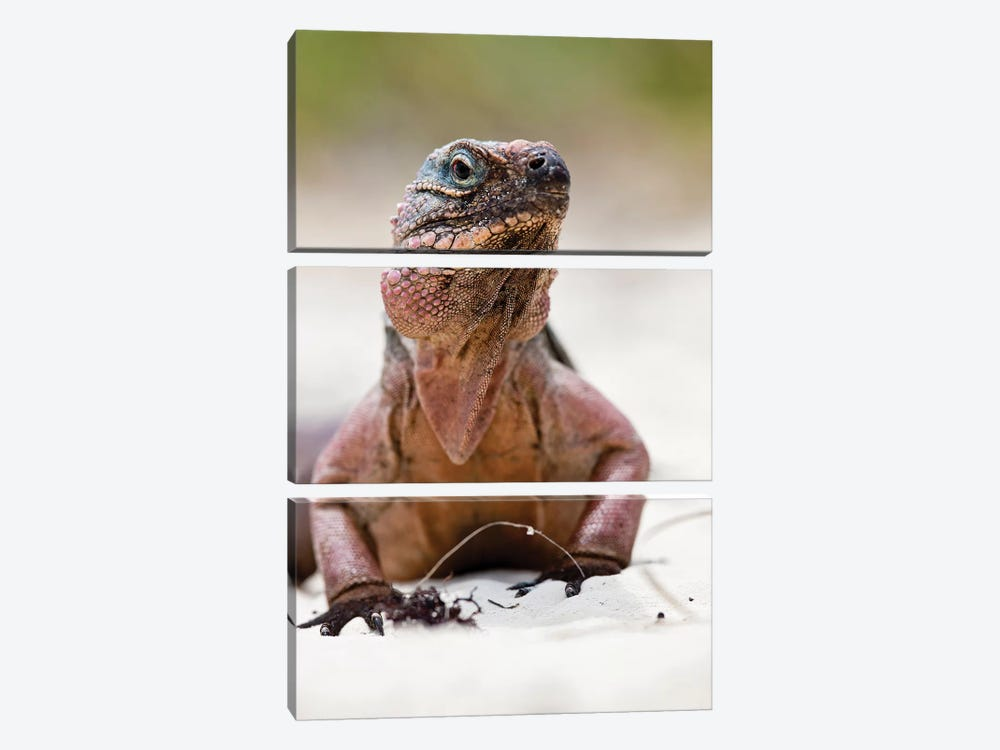 Close-Up Of Iguana On Beach, Great Exuma Island, Bahamas by Panoramic Images 3-piece Canvas Artwork