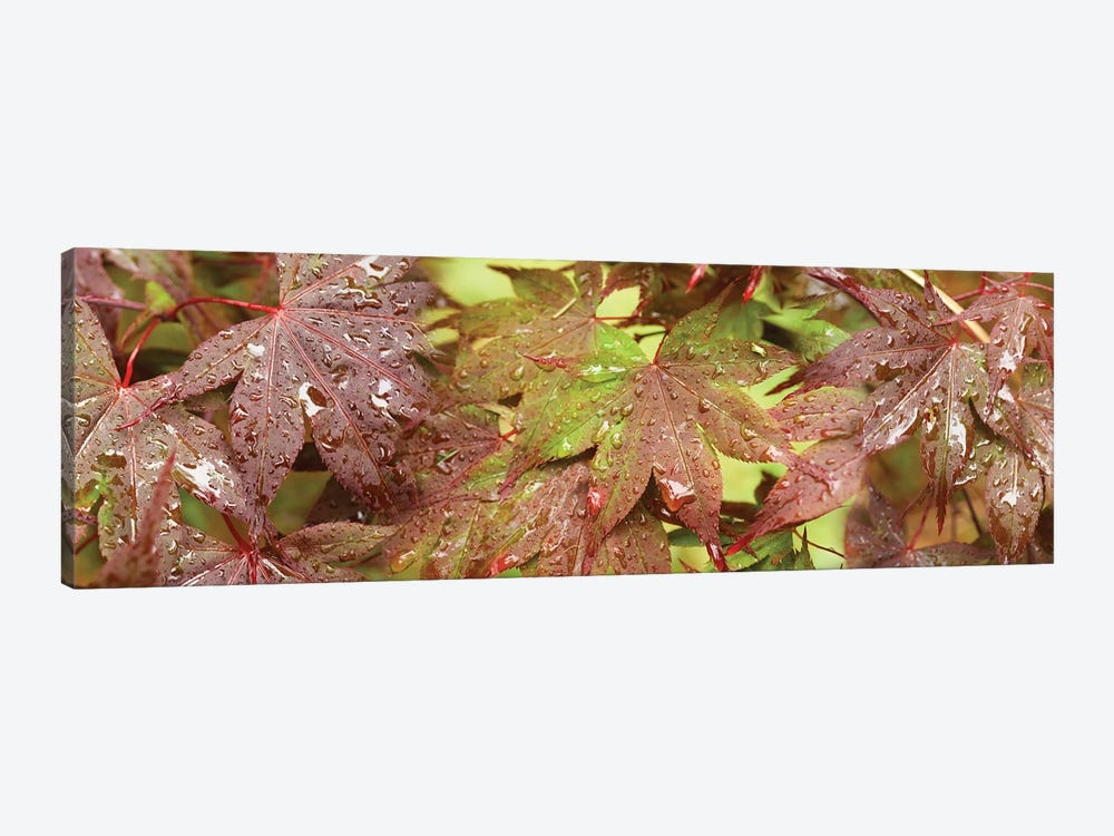 Close-Up Of Japanese Maple Leaves I by Panoramic Images 1-piece Canvas Art Print