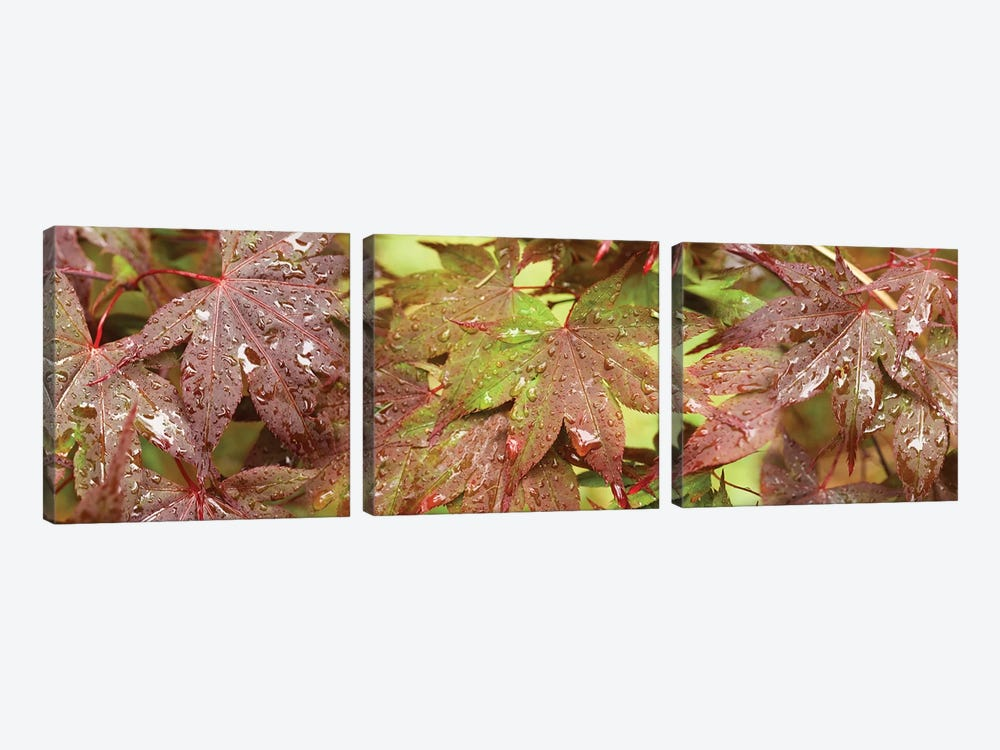 Close-Up Of Japanese Maple Leaves I by Panoramic Images 3-piece Canvas Art Print