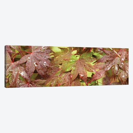 Close-Up Of Japanese Maple Leaves I Canvas Print #PIM14446} by Panoramic Images Canvas Artwork