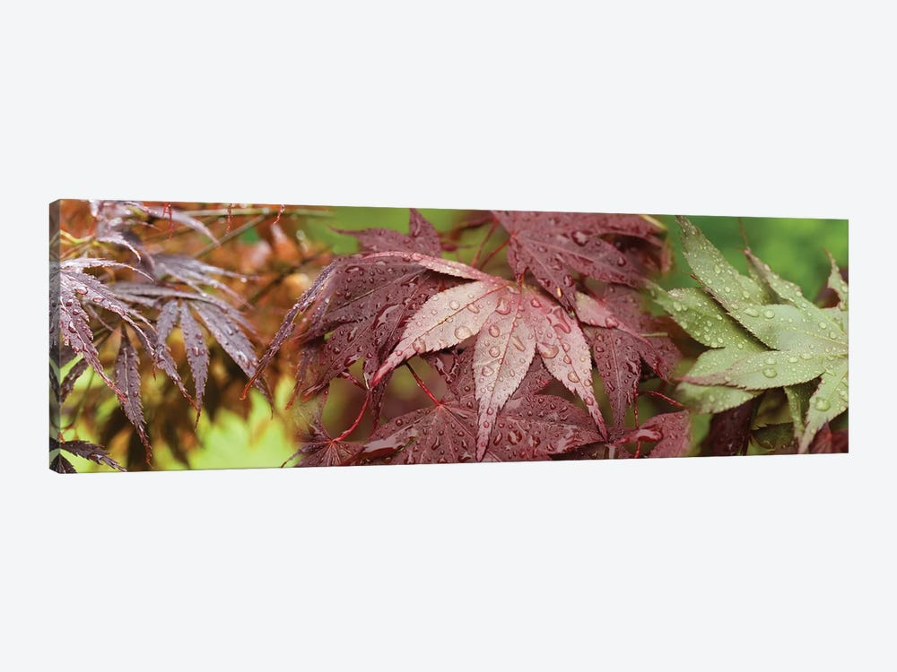 Close-Up Of Japanese Maple Leaves II by Panoramic Images 1-piece Canvas Wall Art
