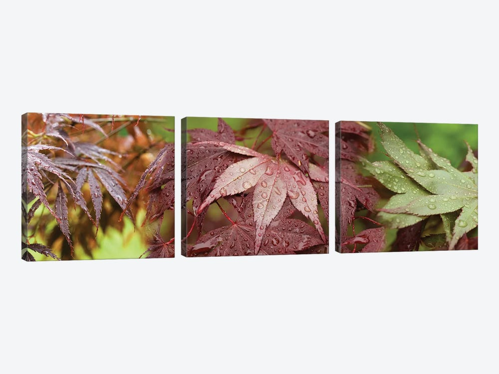 Close-Up Of Japanese Maple Leaves II by Panoramic Images 3-piece Canvas Wall Art