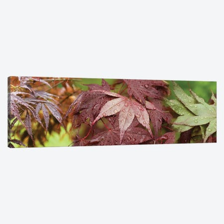 Close-Up Of Japanese Maple Leaves II Canvas Print #PIM14447} by Panoramic Images Canvas Artwork