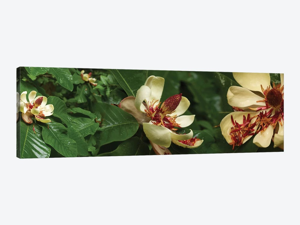 Close-Up Of Magnolia Flowers In Bloom I by Panoramic Images 1-piece Art Print