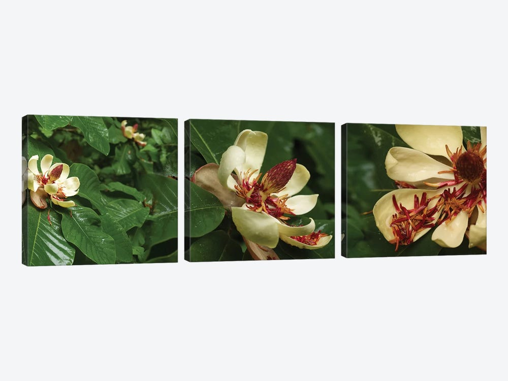 Close-Up Of Magnolia Flowers In Bloom I by Panoramic Images 3-piece Canvas Print