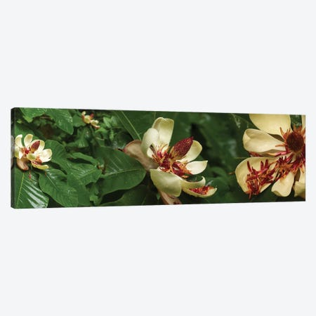 Close-Up Of Magnolia Flowers In Bloom I 3-Piece Canvas #PIM14453} by Panoramic Images Canvas Wall Art