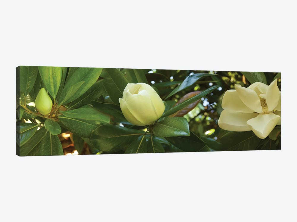 Close-Up Of Magnolia Flowers In Bloom II by Panoramic Images 1-piece Canvas Wall Art