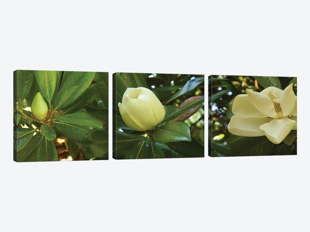 Close-Up Of Magnolia Flowers In Bloom II by Panoramic Images 3-piece Canvas Wall Art