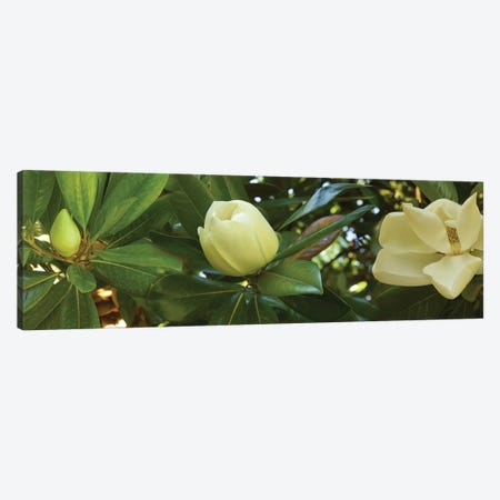 Close-Up Of Magnolia Flowers In Bloom II 3-Piece Canvas #PIM14454} by Panoramic Images Art Print