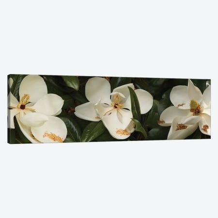 Close-Up Of Magnolia Flowers In Bloom III Canvas Print #PIM14455} by Panoramic Images Art Print