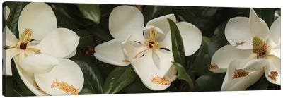 Close-Up Of Magnolia Flowers In Bloom III Canvas Art Print